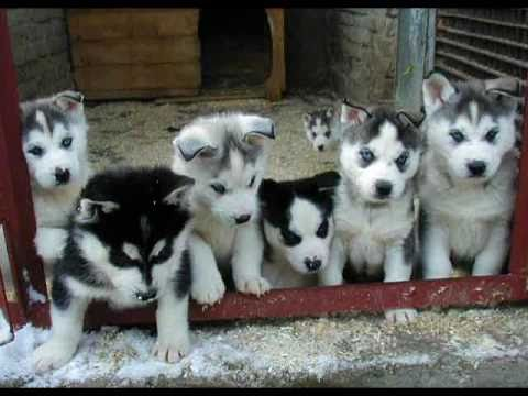 Husky siberiano youtube - Pictures of siberian huskies ...