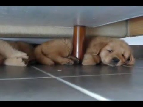 Mac and Tux - Golden Retrievers Puppies