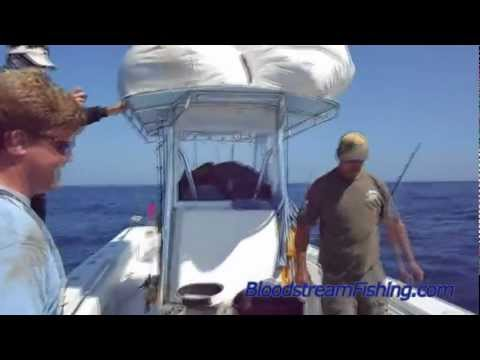 Bloodstream Yellowfin Tuna Fishing Venice Louisiana 2012 Contender 35ST