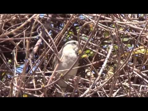 Sounds of Indian Sparrow for Relaxation (1080p HD)