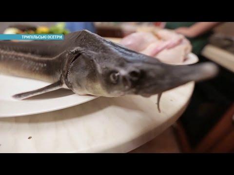 Как разводят осетров под Киевом | Ранок з Україною