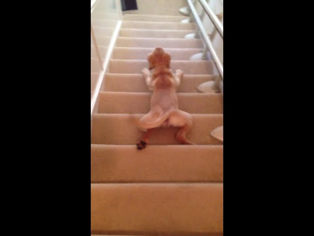 Dog slips on the stairs ? [HD]