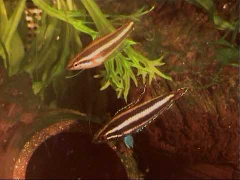 Labyrinthfisch video watch HD videos online without registration