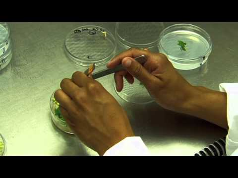 Danforth Center Tour  Tissue Culture