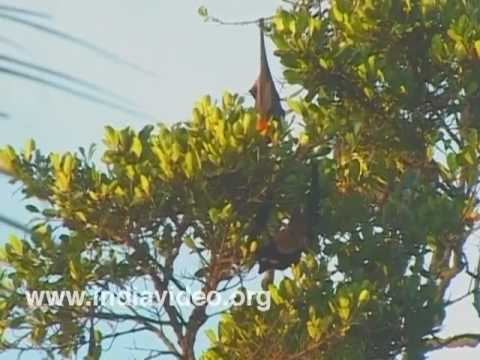 The Indian flying-fox