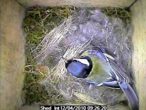 Garden Bird Parus Major Nest Building video