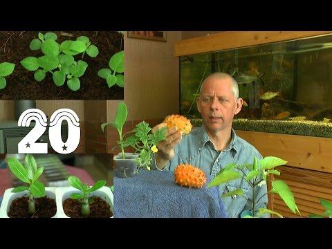 Die Sämlinge Und Wie Geht Es Weiter Mit Den Exoten Und Anderen Pflanzen Teil 20