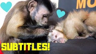 Capuchin Monkeys Talking at Bed Time! (SUBTITLES)