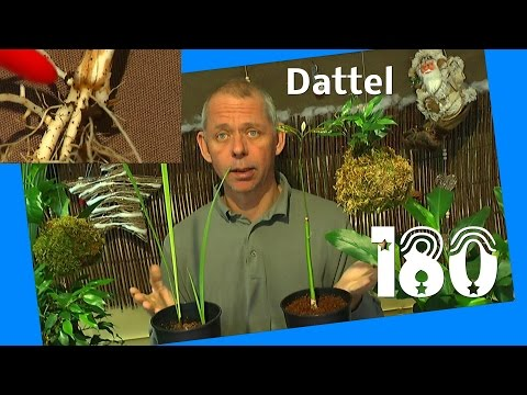Dattel umtopfen und Chilli Steckling blüht