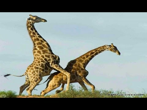 Giraffe Vs Giraffe Deadliest Fight Ever Seen - Nat Geo Wild