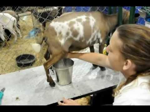 Milking a Nigerian Dwarf Dairy Goat