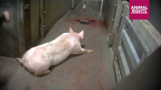 Animal Rights films the abuse of pigs in Tielt slaughterhouse