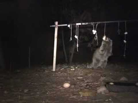 Cute Things Raccoons Do! [Camera Project 2.1/Raccoons!!!]