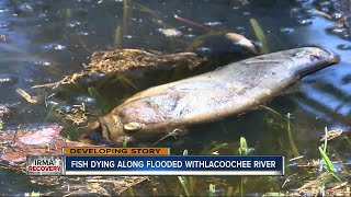 Dead fish popping up in flood water on Withlacoochee River