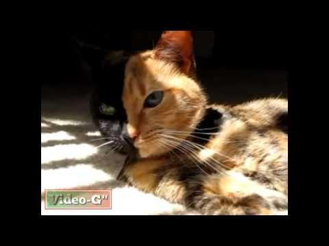 Ecco Venus, il gatto con due facce