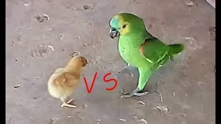 The chick fought with the parrot and look what he gave! - (meldson barros)