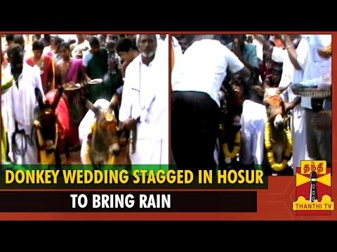 Donkey Wedding Staged In Hosur To Bring Rain - Thanthi Tv video