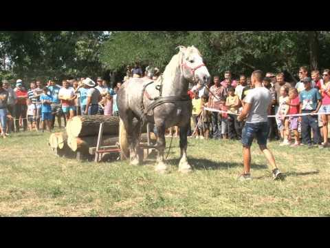 Festival ecvestru Tăuteu 2013 Caii lui Pop Sorin (Soricelu)