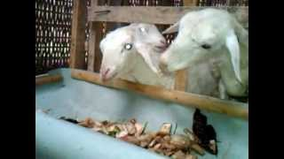 Ternak kambing tanpa ngarit, makan gedebog pisang Mitra HCS Batang Jawa Tengah