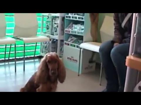 Perioperatorio de una ovariohisterectomía (esterilización) en una perra (AV Veterinarios)