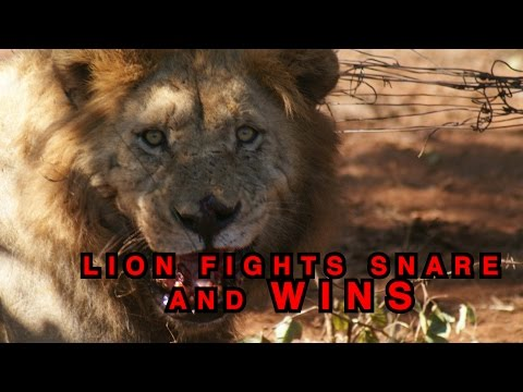 Lion Fights Wire Snare - And Wins!