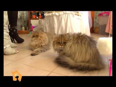"""""""Cani, gatti & c."""" – Servizio sul gatto Persiano Cincilla nella puntata del 25 Aprile 2012"""