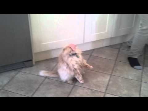 Ham Lands On Cat's Face-FUNNY
