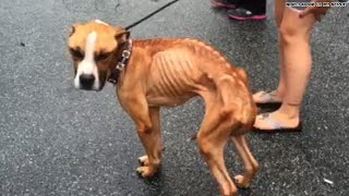 Watch this emaciated boxer's journey to recovery