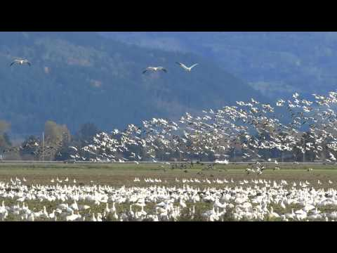 November 04, 2013 I was driving towards the scenic and fabled Chuckanut Drive in northwestern Washington State and suddenly I see thousands of white birds in...