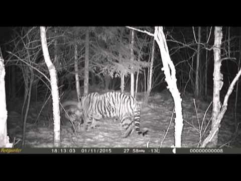 Tiger Eating Horse Tiger Eating Horse in ne