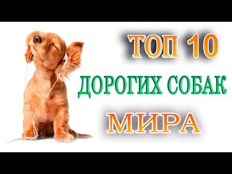 ТОП 10 самых дорогих и лучших пород собак в мире