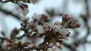 National Cherry Blossom Festival kicks off in DC