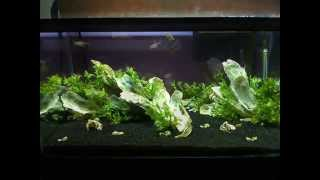 Planted Dwarf Shell Dweller Tank for Ocellatus Lamprologus Gold