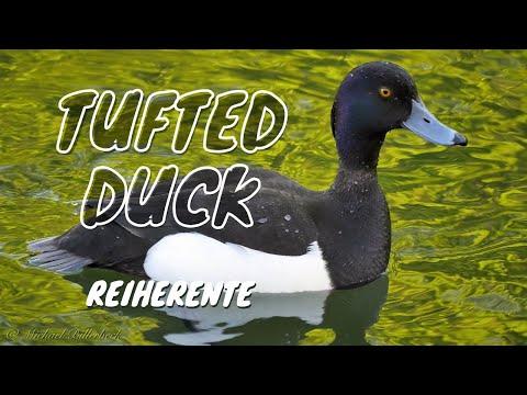 Tufted Duck (Aythya Fuligula ♂) / Reiherente [6]