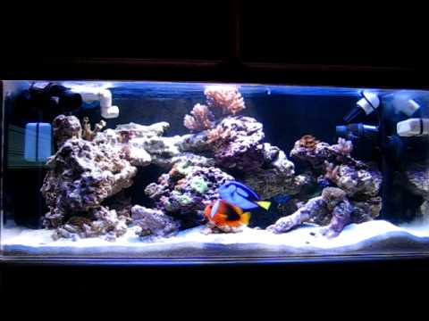 40 gal Saltwater Tank with a new addition - Blue Tang - YouTube