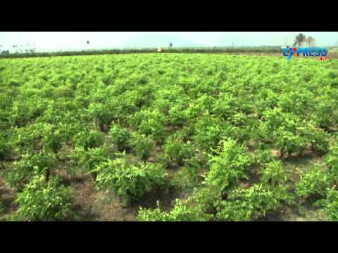 Management of Curry leaf cultivation - Paadi Pantalu