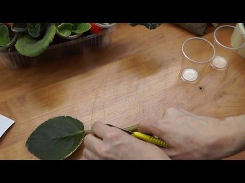 Размножение фиалок/сенполий листом в домашних условиях