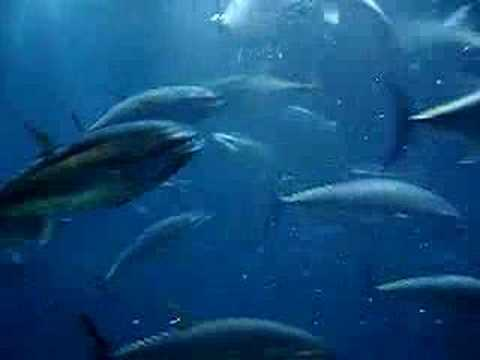 Tokyo Sea Park - Tuna Tank Feeding Time