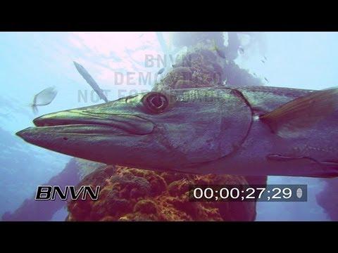 7/22/2007 Aggressive Barracuda stock footage