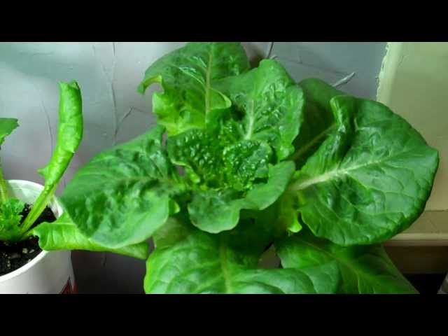 How To Grow Your Own Organic Lettuce Indoors! DIY