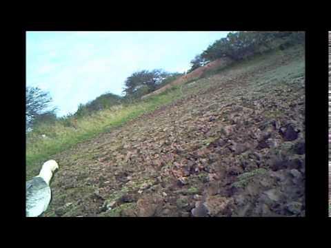 Plumbeous Ibis (Bandurria Mora) en Los Tapires