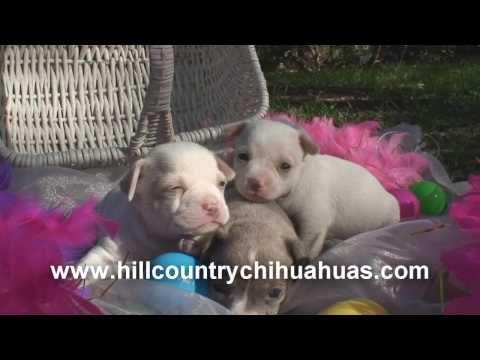 Easter Chihuahua Puppies! March 2008! Video