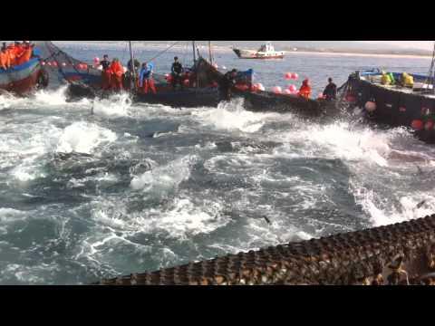 Levantá atún rojo salvaje de Almadraba