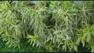 WARAIRAREPANO - PLANTAS ORNAMENTALES - CARACAS - PARTE 01