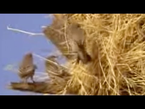 Social Weaver Birds Nest In A Tree In Africa - David Attenborough  - Bbc Wildlife video