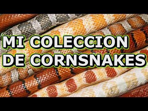 Mi coleccion de cornsnakes (serpientes del maiz)
