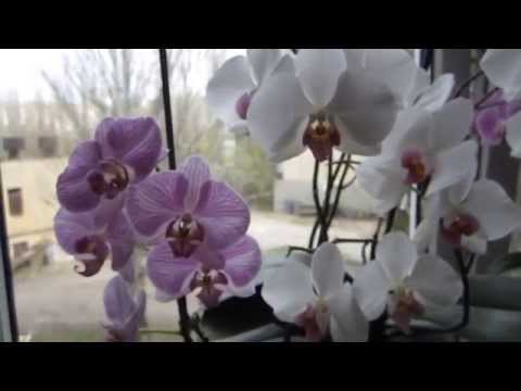Мой уход за орхидеями.