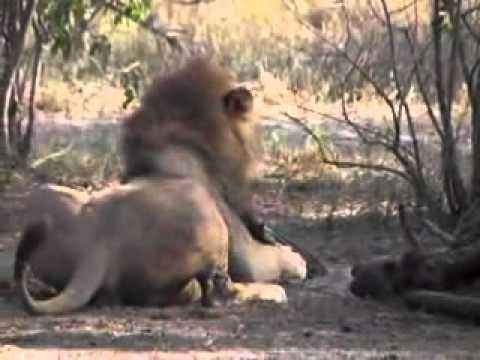 male lion kills vulture
