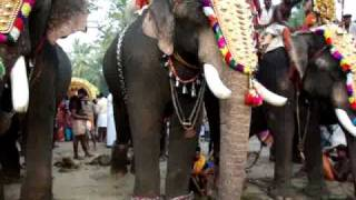 Thiruvambadi Sivasundar - Most Beautiful Elephant in Kerala