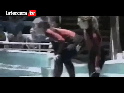 Asi la Orca Tilikum mató a su entrenadora en Seaworld, el video muestra como la atacó